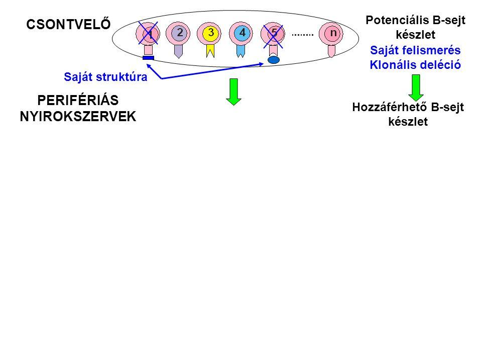 CSONTVELŐ Potenciális B-sejt készlet Saját struktúra Saját felismerés Klonális deléció PERIFÉRIÁS NYIROKSZERVEK Hozzáférhető B-sejt készlet
