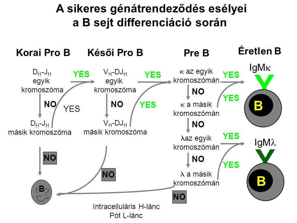 A sikeres génátrendeződés esélyei a B sejt differenciáció során Korai Pro BKésői Pro B Pre B V H -DJ H egyik kromoszóma V H -DJ H másik kromoszóma NO YES NO B  az egyik kromoszómán  a másik kromoszómán az egyik kromoszómán a másik kromoszómán NO YES NO YES Éretlen B Y IgM  B Y IgM B D H -J H egyik kromoszóma D H -J H másik kromoszóma YES NO Intracelluláris H-lánc Pót L-lánc