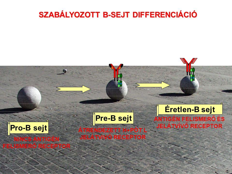 A differenciáció szakaszait a csontvelőben a génátrendeződés foka is jelzi B SEJT ÁLLAPOT IgH GÉN KONFIGURÁCIÓ ŐssejtKorai pro-BKésői pro-BNagy pre-B Csíravonal D H to J H V H to D H J H VHDHJHVHDHJH Az Ig L-lánc még nincs átrendezve Pre-B sejt receptor kifejeződése
