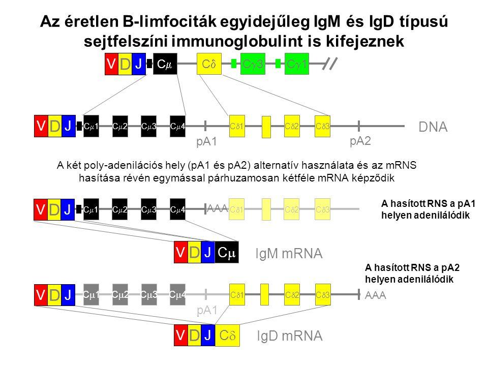 C1C1 C2C2C3C3C4C4 C1C1C2C2 C3C3 pA1 V D J C1C1 C2C2C3C3C4C4 C1C1C2C2 C3C3 V D J AAA A hasított RNS a pA2 helyen adenilálód