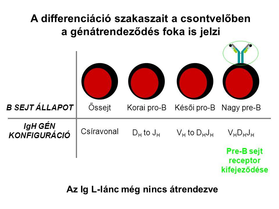 A differenciáció szakaszait a csontvelőben a génátrendeződés foka is jelzi B SEJT ÁLLAPOT IgH GÉN KONFIGURÁCIÓ ŐssejtKorai pro-BKésői pro-BNagy pre-B