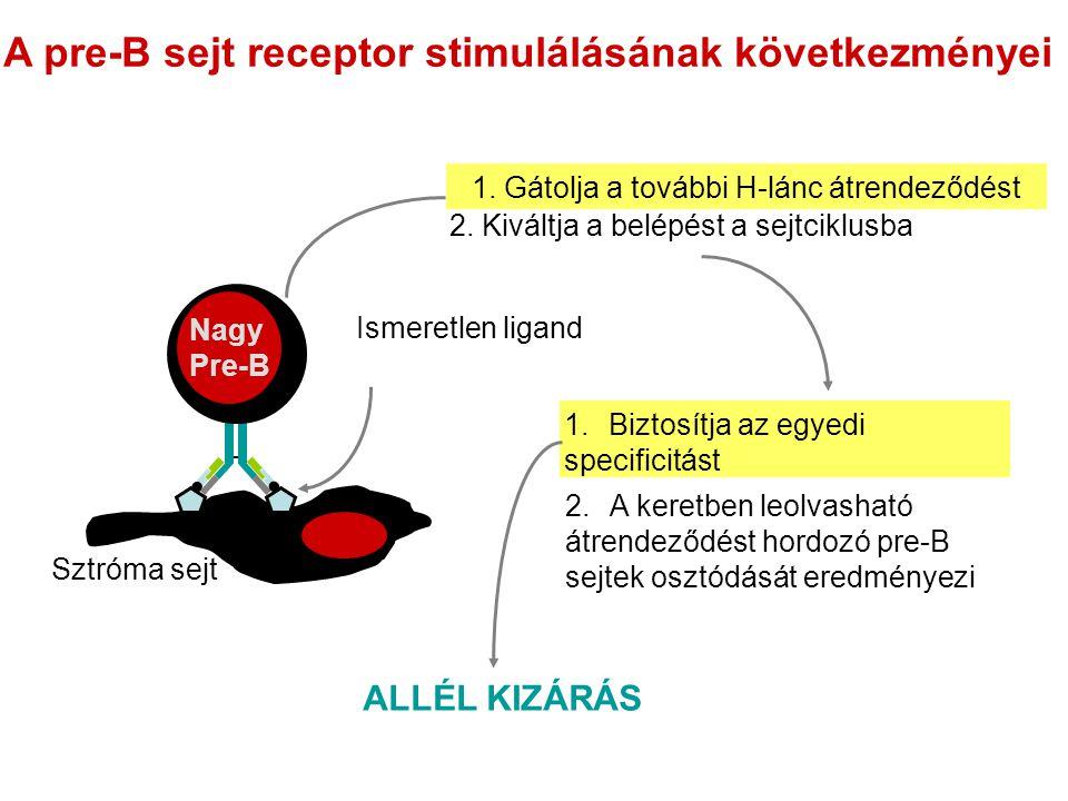 A pre-B sejt receptor stimulálásának következményei 1.Biztosítja az egyedi specificitást Nagy Pre-B Sztróma sejt Ismeretlen ligand 2. Kiváltja a belép