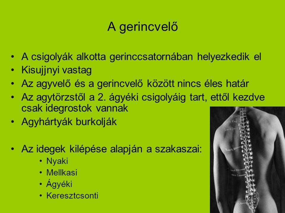 12 A gerincvelő A csigolyák alkotta gerinccsatornában helyezkedik el Kisujjnyi vastag Az agyvelő és a gerincvelő között nincs éles határ Az agytörzstő