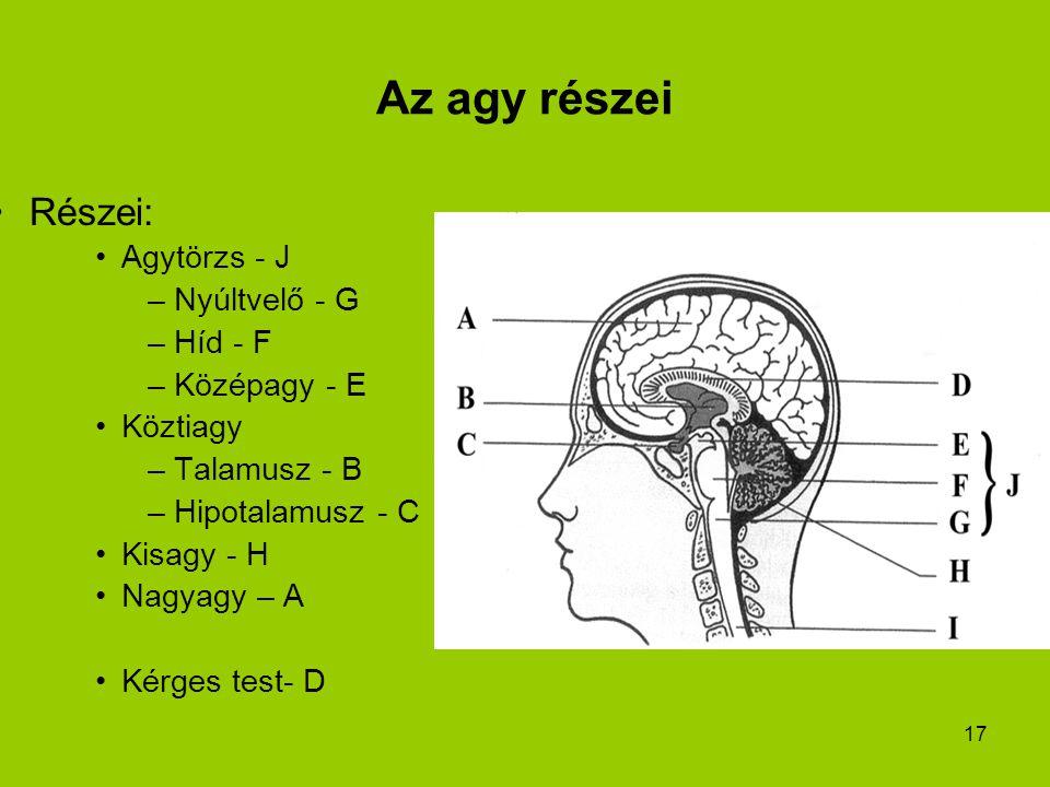 17 Az agy részei Részei: Agytörzs - J –Nyúltvelő - G –Híd - F –Középagy - E Köztiagy –Talamusz - B –Hipotalamusz - C Kisagy - H Nagyagy – A Kérges tes