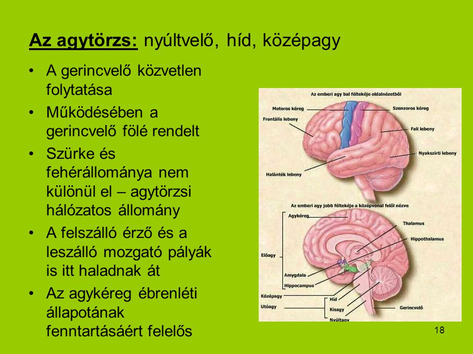 18 Az agytörzs: nyúltvelő, híd, középagy A gerincvelő közvetlen folytatása Működésében a gerincvelő fölé rendelt Szürke és fehérállománya nem különül