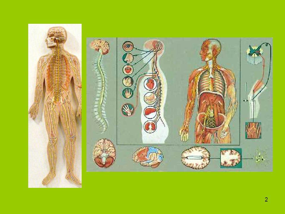 3 Az idegrendszer szerkezeti és működési alapegysége: neuron Részei: -sejttest, sejtmag, -rövid nyúlványok (dendritek), -hosszú nyúlványok vagy tengelyfonal (axon), -végfácska (hosszú nyúlvány idegvégződése), -myelin-hüvely (tengelyfonalat körülvevő velős hüvely)