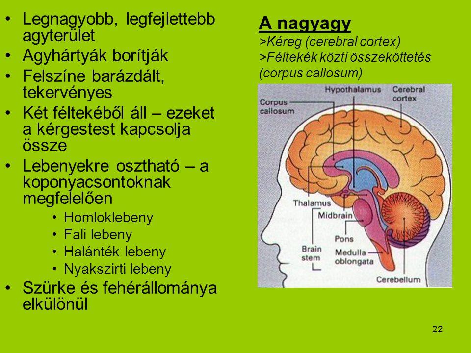 22 A nagyagy >Kéreg (cerebral cortex) >Féltekék közti összeköttetés (corpus callosum) Legnagyobb, legfejlettebb agyterület Agyhártyák borítják Felszín