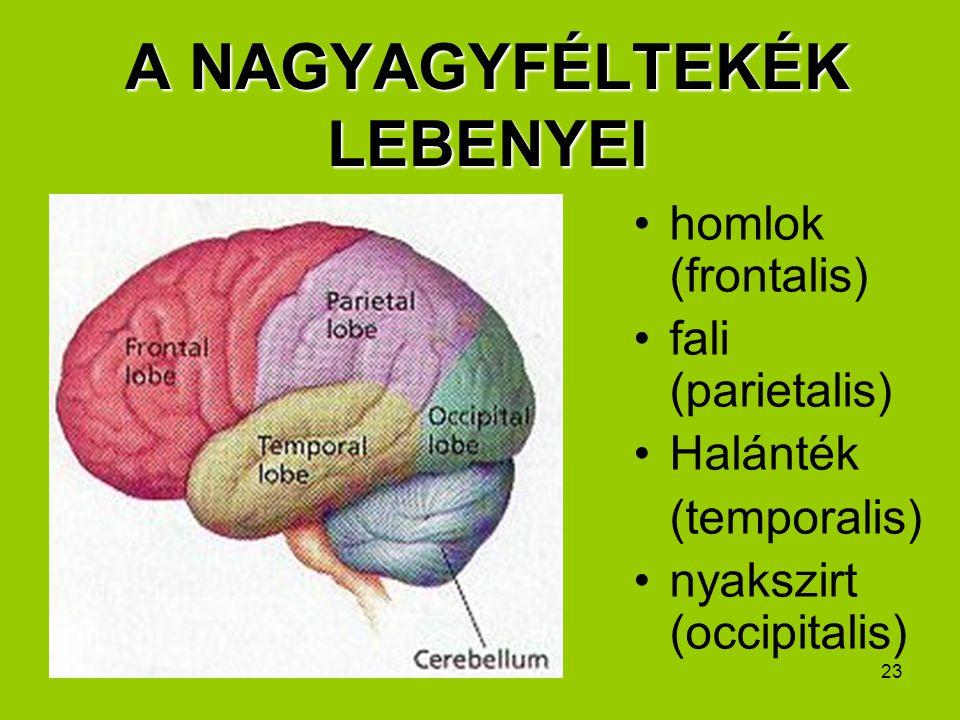 23 A NAGYAGYFÉLTEKÉK LEBENYEI homlok (frontalis) fali (parietalis) Halánték (temporalis) nyakszirt (occipitalis)
