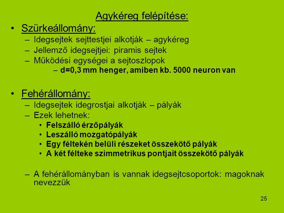 25 Agykéreg felépítése: Szürkeállomány: –Idegsejtek sejttestjei alkotják – agykéreg –Jellemző idegsejtjei: piramis sejtek –Működési egységei a sejtosz