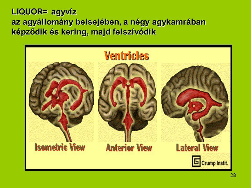 28 LIQUOR= agyvíz az agyállomány belsejében, a négy agykamrában képződik és kering, majd felszívódik