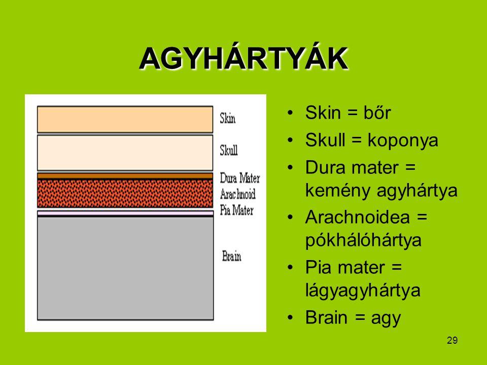 29 AGYHÁRTYÁK Skin = bőr Skull = koponya Dura mater = kemény agyhártya Arachnoidea = pókhálóhártya Pia mater = lágyagyhártya Brain = agy