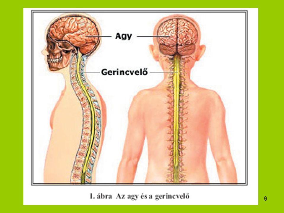 30 Vegetatív idegrendszer 1.Szimpatikus: működését szabályozó idegsejtek gazdagon behálózzák az egész szervezet; lényege: a támadásra, védekezésre való készenlét 2.Paraszimpatikus: a működését szabályozó sejtek rostjai nem ágazódnak el, hanem egyenesen valamely szerv felé futnak, körülírtan ott hatnak, legtöbbször a szimpatikussal ellentétesen; nyugalmat, békés állapotot jelenti