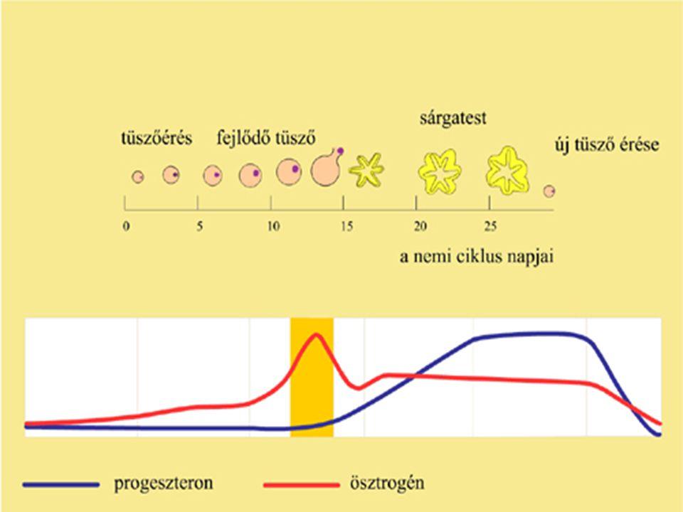 Perifériás hormonok Progesztogének a progeszteron valamelyik hatásával rendelkeznek Hatás: biztosítja a terhesség fennmaradását Hormofort Utrogestan Duphaston Turinal Norcolut Orgametril Livial Provera Depo Provera Farlutal Ld.