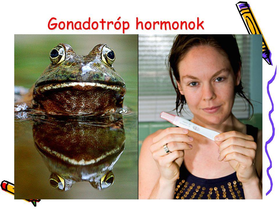 Gonadotróp hormonok