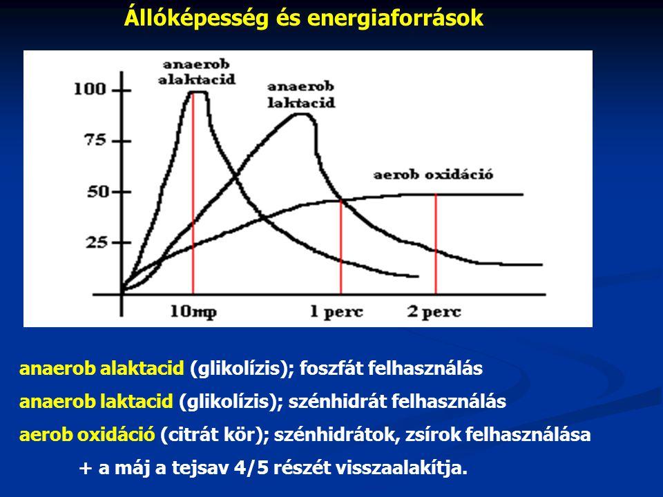 Állóképesség és energiaforrások + a máj a tejsav 4/5 részét visszaalakítja.