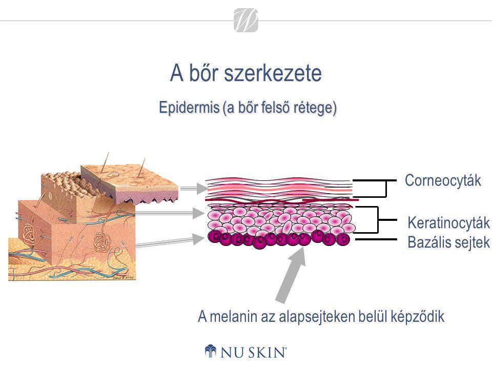 A bőr szerkezete A melanin az alapsejteken belül képződik Epidermis (a bőr felső rétege)