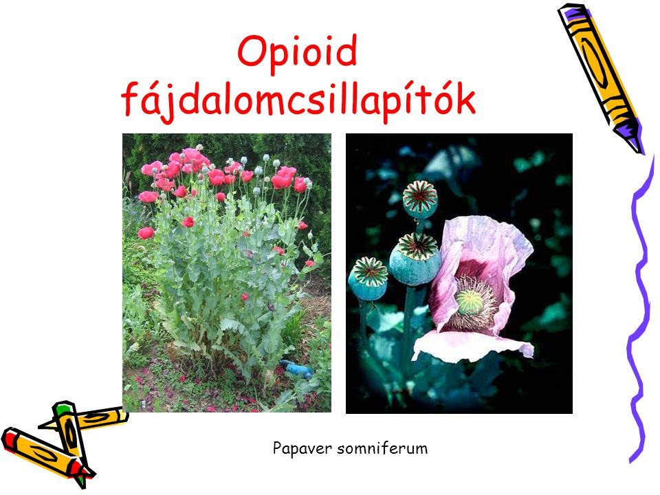 Opioid fájdalomcsillapítók Papaver somniferum