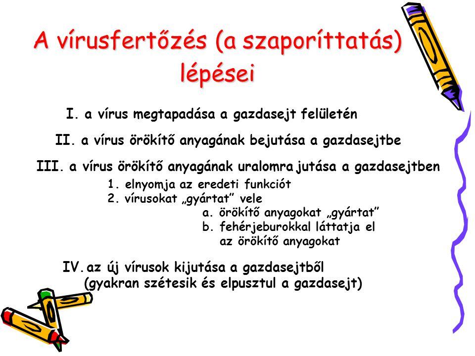 A vírusfertőzés (a szaporíttatás) lépései I. a vírus megtapadása a gazdasejt felületén II. a vírus örökítő anyagának bejutása a gazdasejtbe III. a vír