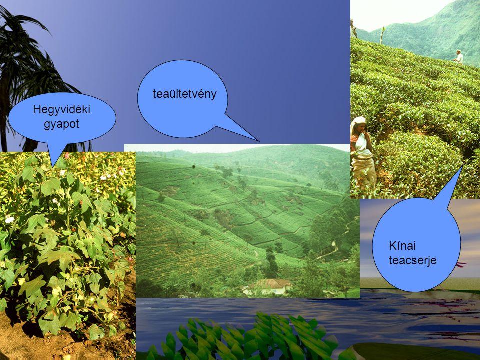 Hegyvidéki gyapot teaültetvény Kínai teacserje