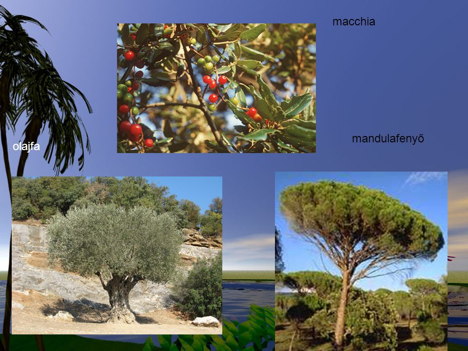 macchia mandulafenyő olajfa