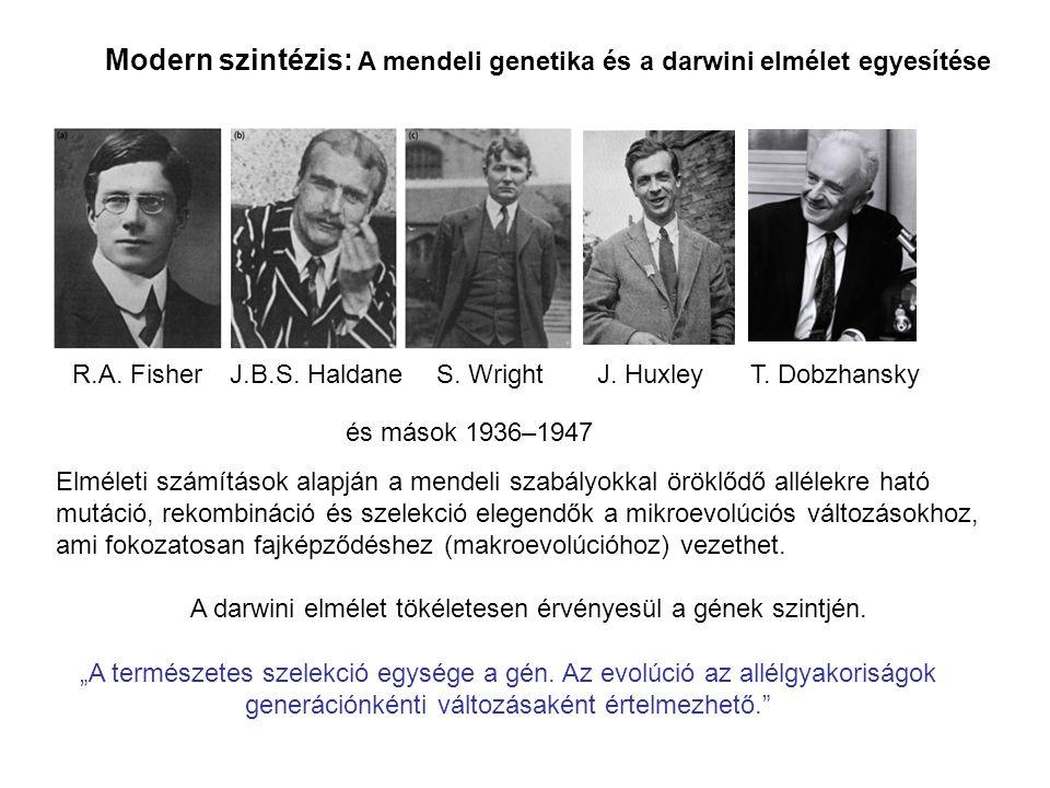 Modern szintézis: A mendeli genetika és a darwini elmélet egyesítése R.A. Fisher J.B.S. Haldane S. Wright T. DobzhanskyJ. Huxley és mások 1936–1947 El