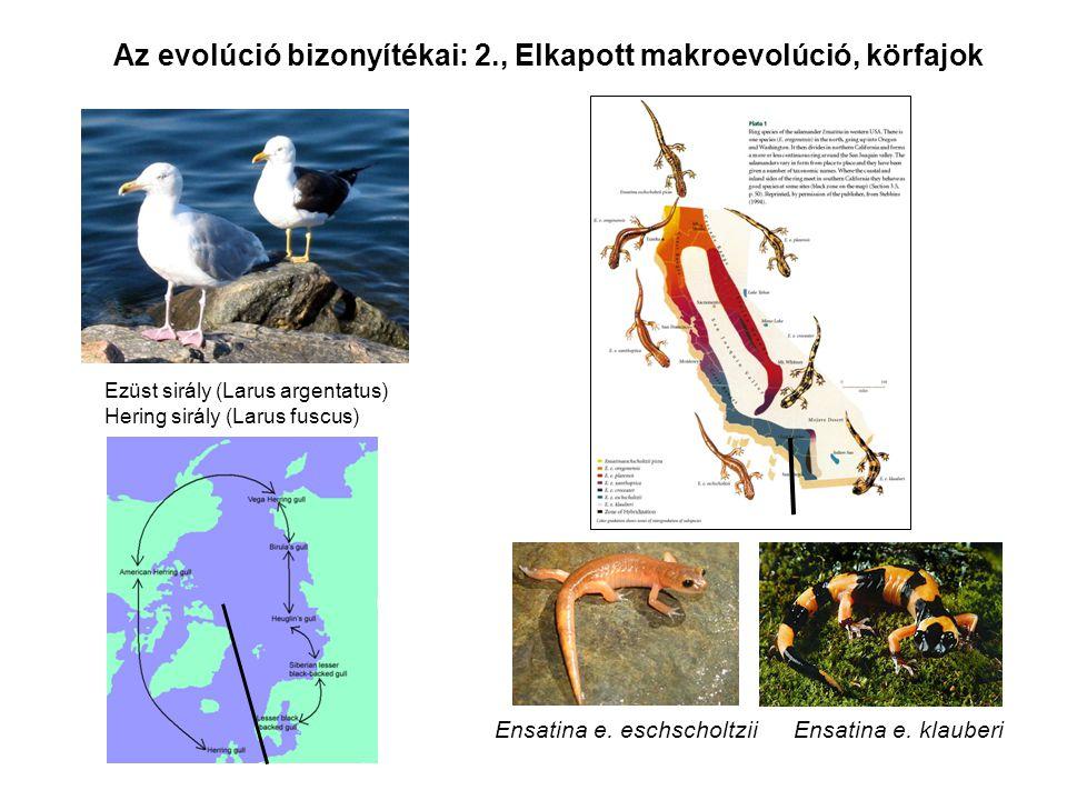 Az evolúció bizonyítékai: 2., Elkapott makroevolúció, körfajok Ezüst sirály (Larus argentatus) Hering sirály (Larus fuscus) Ensatina e. eschscholtzii