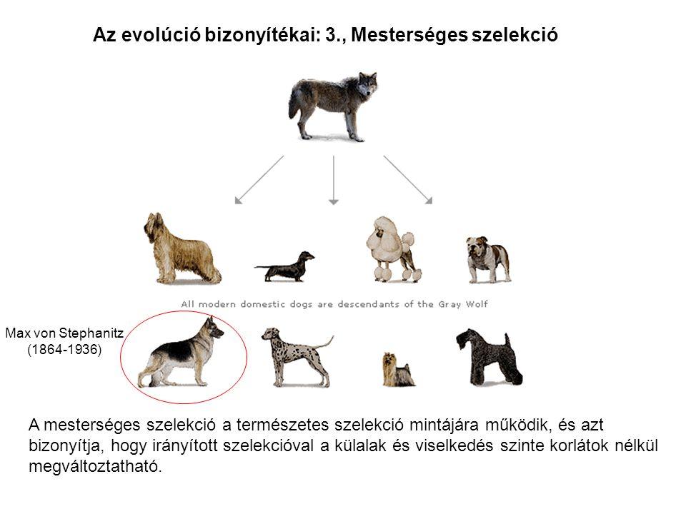 Az evolúció bizonyítékai: 3., Mesterséges szelekció A mesterséges szelekció a természetes szelekció mintájára működik, és azt bizonyítja, hogy irányít