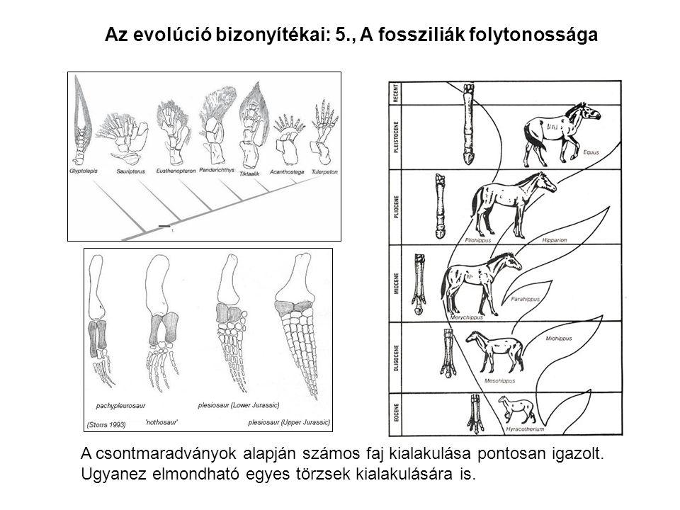 Az evolúció bizonyítékai: 5., A fossziliák folytonossága A csontmaradványok alapján számos faj kialakulása pontosan igazolt. Ugyanez elmondható egyes