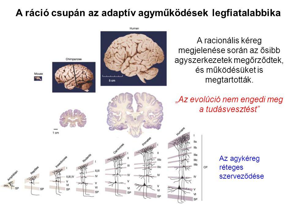 """A racionális kéreg megjelenése során az ősibb agyszerkezetek megőrződtek, és működésüket is megtartották. """"Az evolúció nem engedi meg a tudásvesztést"""""""