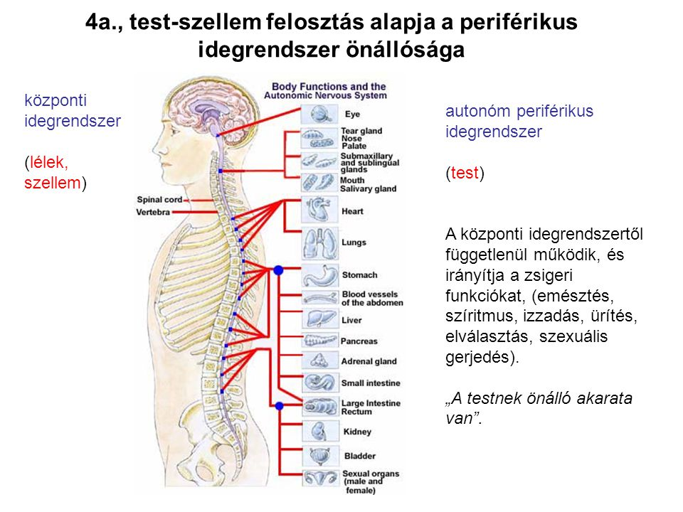 4a., test-szellem felosztás alapja a periférikus idegrendszer önállósága autonóm periférikus idegrendszer (test) A központi idegrendszertől függetlenü