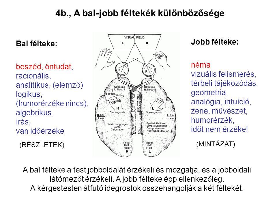 4b., A bal-jobb féltekék különbözősége Bal félteke: beszéd, öntudat, racionális, analitikus, (elemző) logikus, (humorérzéke nincs), algebrikus, írás,