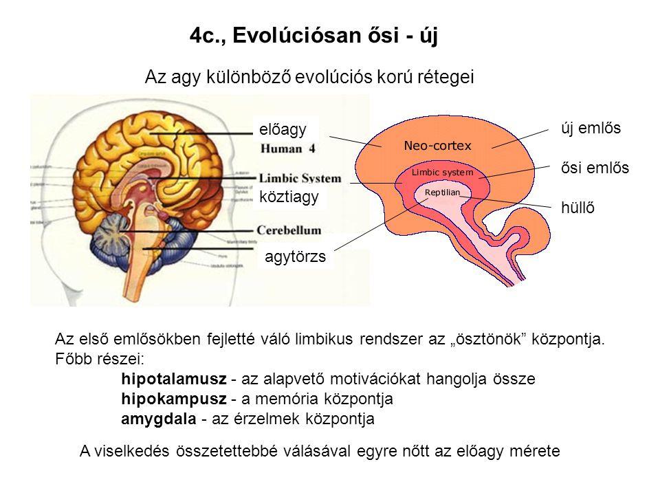 Az agy különböző evolúciós korú rétegei agytörzs köztiagy előagy új emlős ősi emlős hüllő 4c., Evolúciósan ősi - új Az első emlősökben fejletté váló l