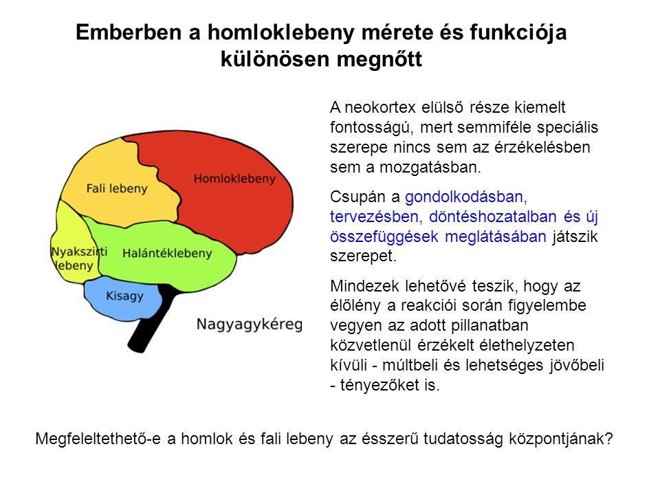 A neokortex elülső része kiemelt fontosságú, mert semmiféle speciális szerepe nincs sem az érzékelésben sem a mozgatásban. Csupán a gondolkodásban, te