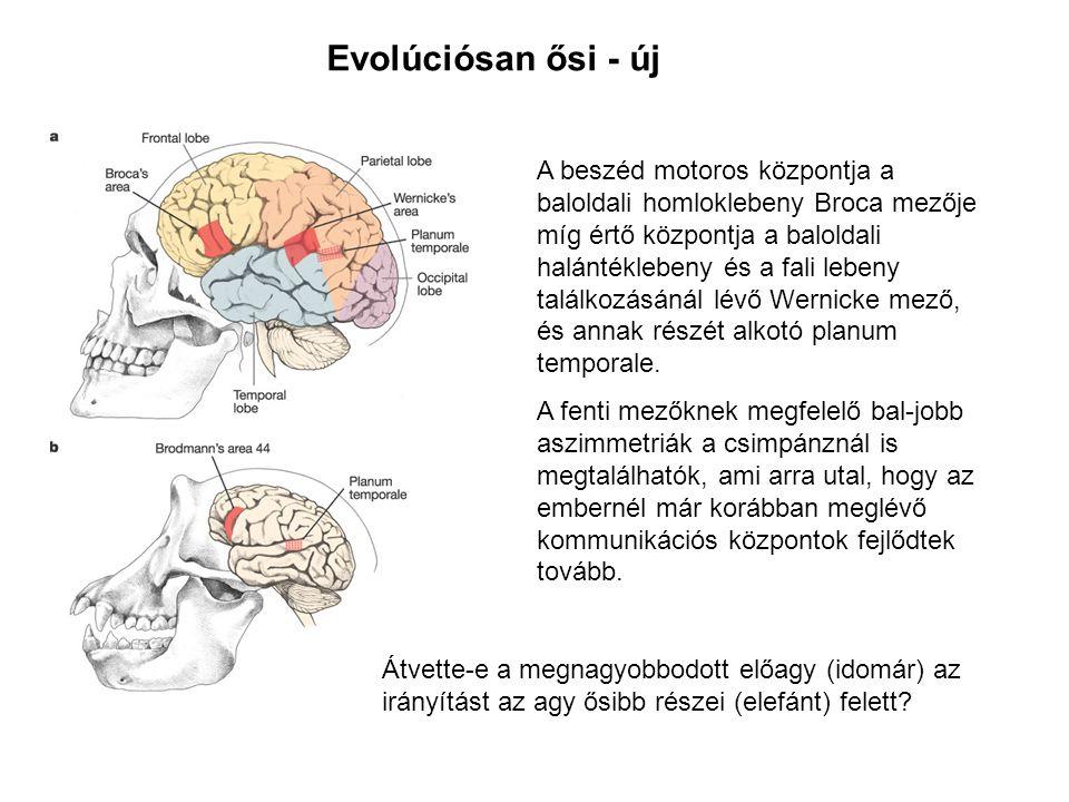 Evolúciósan ősi - új A beszéd motoros központja a baloldali homloklebeny Broca mezője míg értő központja a baloldali halántéklebeny és a fali lebeny t