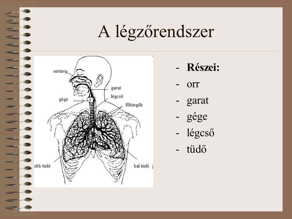 A légzőrendszer -Részei: -orr -garat -gége -légcső -tüdő