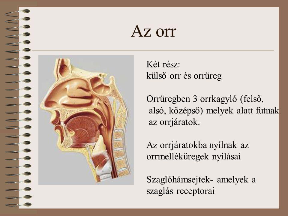 Az orr Két rész: külső orr és orrüreg Orrüregben 3 orrkagyló (felső, alsó, középső) melyek alatt futnak az orrjáratok. Az orrjáratokba nyílnak az orrm