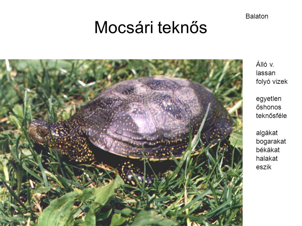 Mocsári teknős Balaton Álló v. lassan folyó vizek egyetlen őshonos teknősféle algákat bogarakat békákat halakat eszik