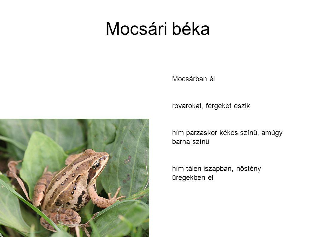Mocsári béka Mocsárban él rovarokat, férgeket eszik hím párzáskor kékes színű, amúgy barna színű hím tálen iszapban, nőstény üregekben él