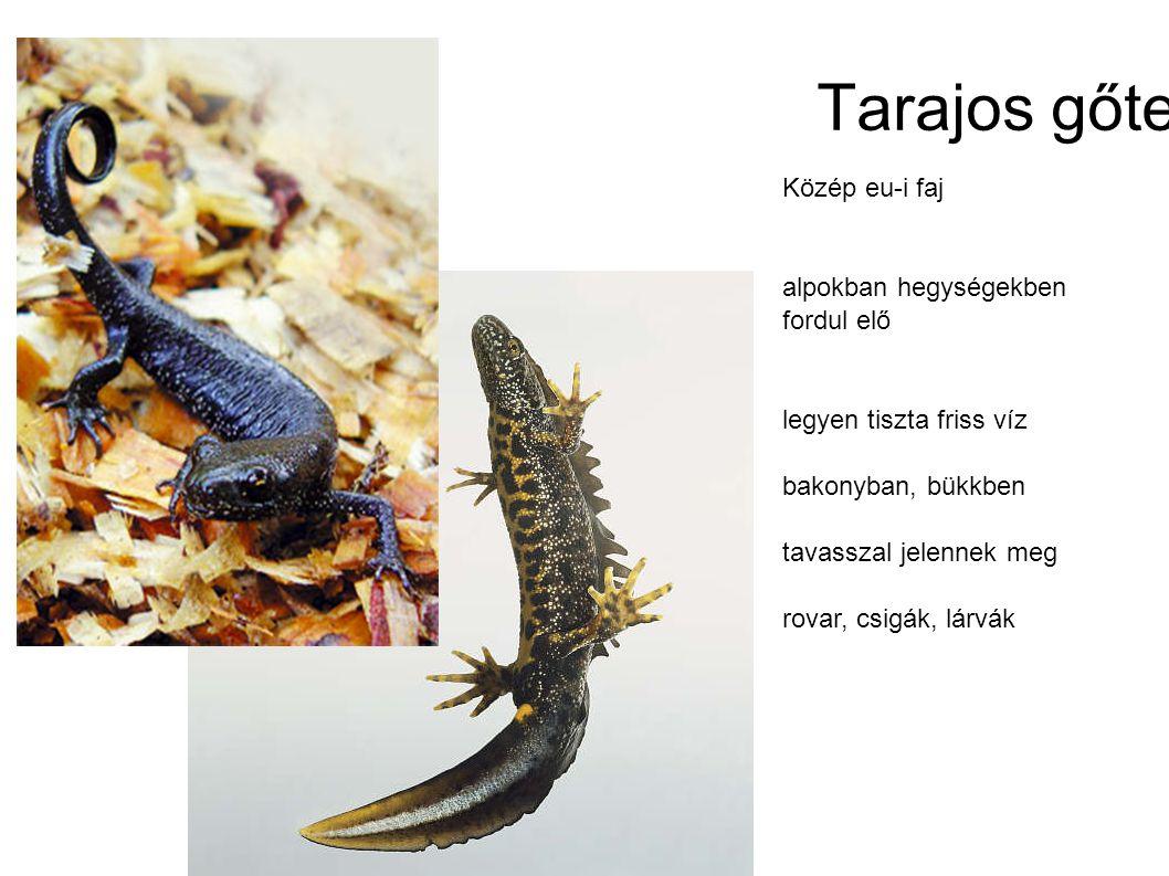 Tarajos gőte Közép eu-i faj alpokban hegységekben fordul elő legyen tiszta friss víz bakonyban, bükkben tavasszal jelennek meg rovar, csigák, lárvák