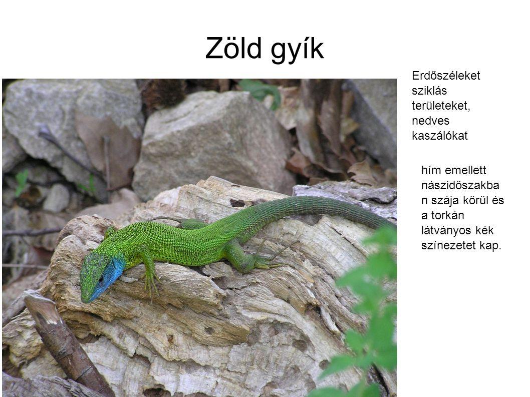 Zöld gyík Erdőszéleket sziklás területeket, nedves kaszálókat hím emellett nászidőszakba n szája körül és a torkán látványos kék színezetet kap.