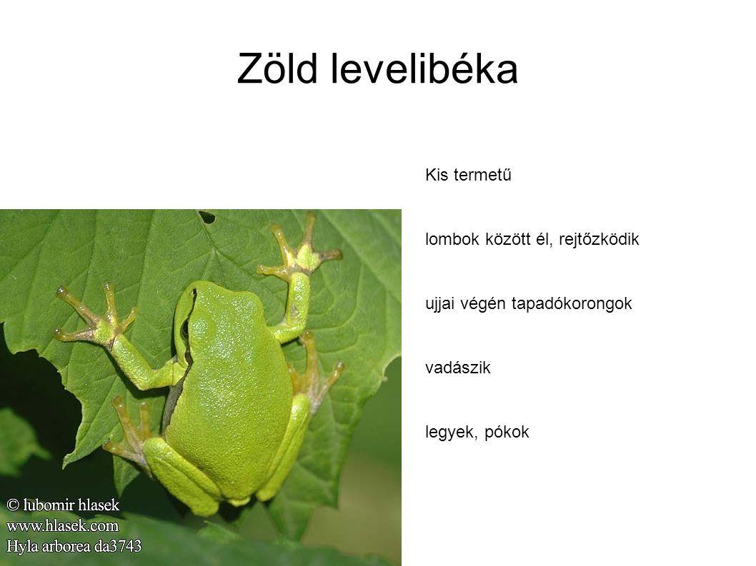 Zöld levelibéka Kis termetű lombok között él, rejtőzködik ujjai végén tapadókorongok vadászik legyek, pókok