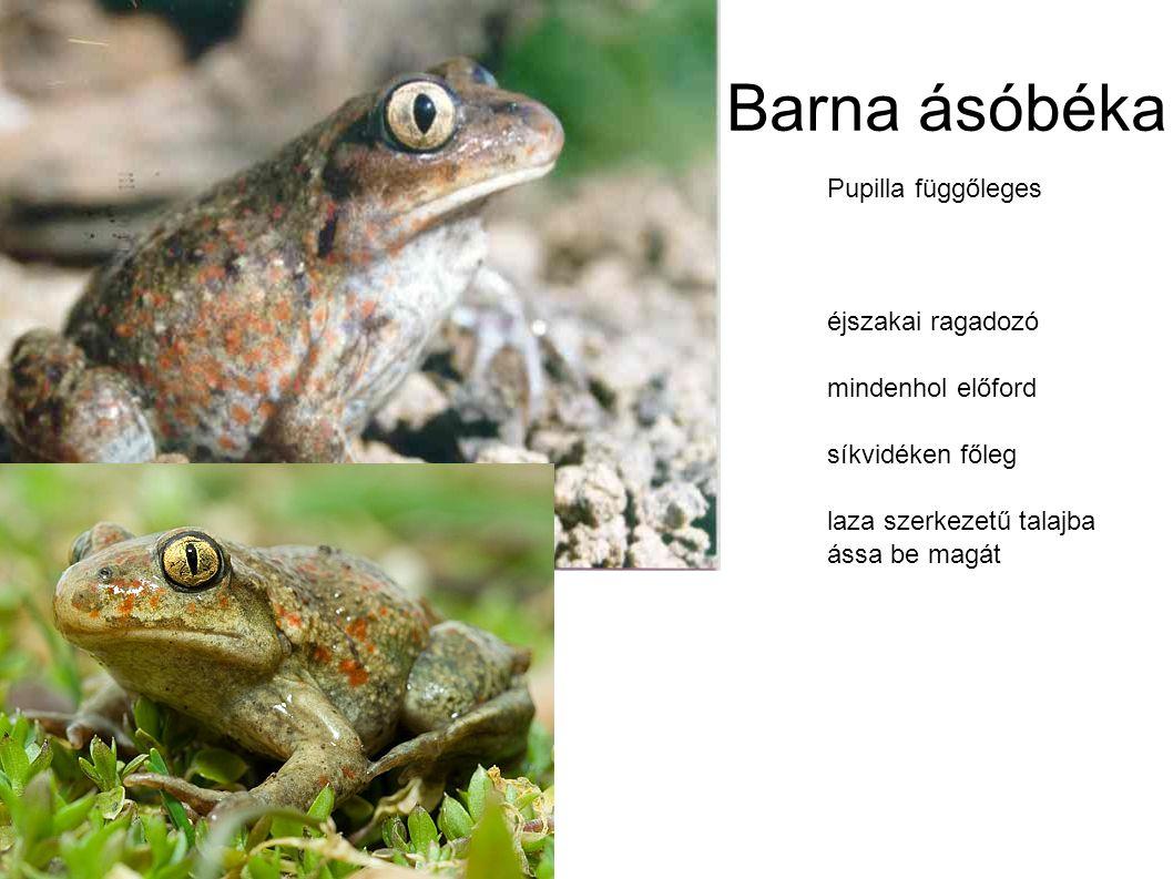 Barna ásóbéka Pupilla függőleges éjszakai ragadozó mindenhol előford síkvidéken főleg laza szerkezetű talajba ássa be magát