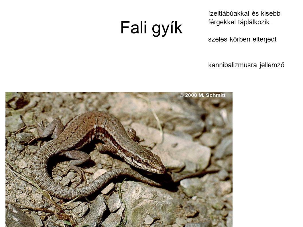 Fali gyík ízeltlábúakkal és kisebb férgekkel táplálkozik. széles körben elterjedt kannibalizmusra jellemző