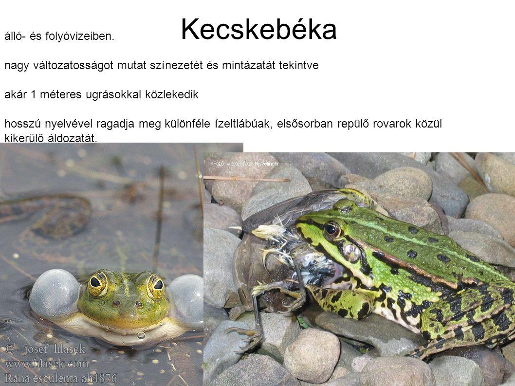 Kecskebéka álló- és folyóvizeiben. nagy változatosságot mutat színezetét és mintázatát tekintve akár 1 méteres ugrásokkal közlekedik hosszú nyelvével