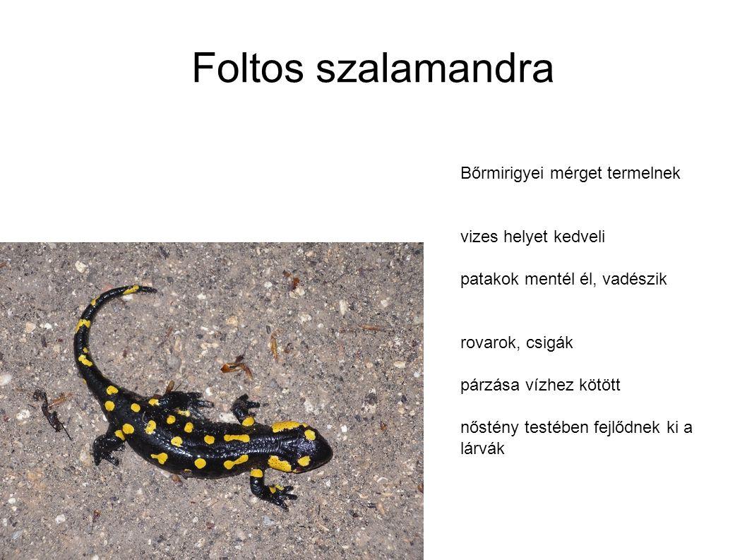 Foltos szalamandra Bőrmirigyei mérget termelnek vizes helyet kedveli patakok mentél él, vadészik rovarok, csigák párzása vízhez kötött nőstény testébe