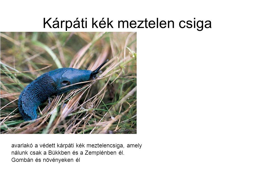 Kárpáti kék meztelen csiga avarlakó a védett kárpáti kék meztelencsiga, amely nálunk csak a Bükkben és a Zemplénben él. Gombán és növényeken él