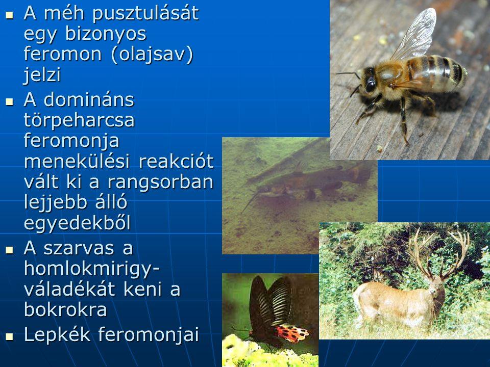 A méh pusztulását egy bizonyos feromon (olajsav) jelzi A méh pusztulását egy bizonyos feromon (olajsav) jelzi A domináns törpeharcsa feromonja menekül