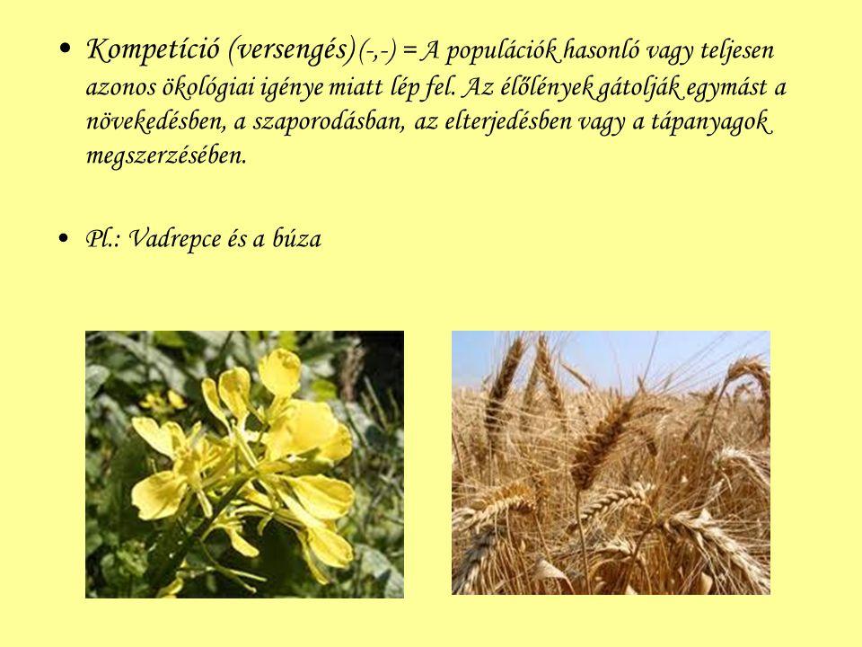 Kompetíció (versengés) (-,-) = A populációk hasonló vagy teljesen azonos ökológiai igénye miatt lép fel. Az élőlények gátolják egymást a növekedésben,
