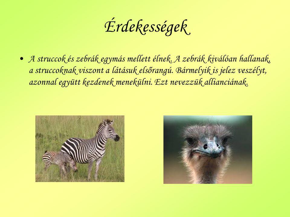 Érdekességek A struccok és zebrák egymás mellett élnek. A zebrák kiválóan hallanak, a struccoknak viszont a látásuk elsőrangú. Bármelyik is jelez vesz