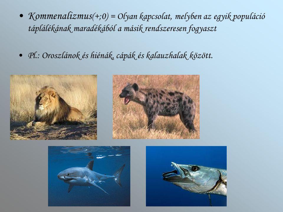 Kommenalizmus (+;0) = Olyan kapcsolat, melyben az egyik populáció táplálékának maradékából a másik rendszeresen fogyaszt Pl.: Oroszlánok és hiénák, cá